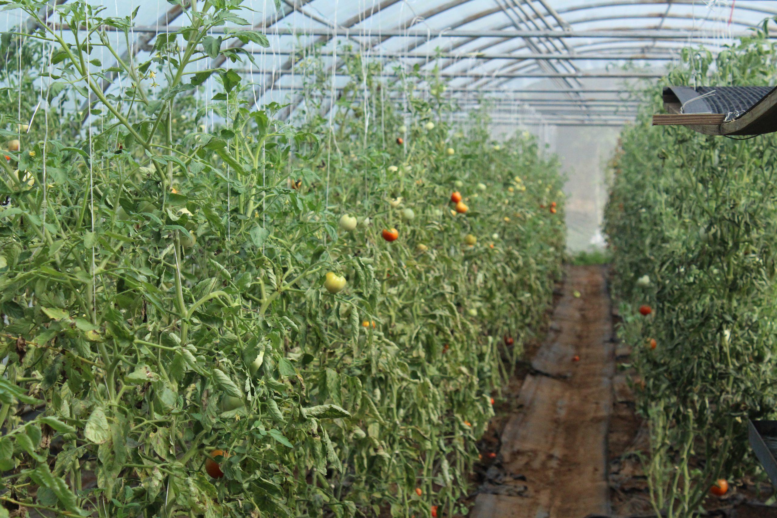 Tomate sous serre bio